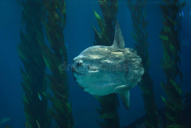 Mola de Mola de sunfish d'océan image stock