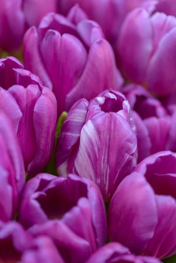A mola do close-up floresce tulipas fotografia de stock royalty free