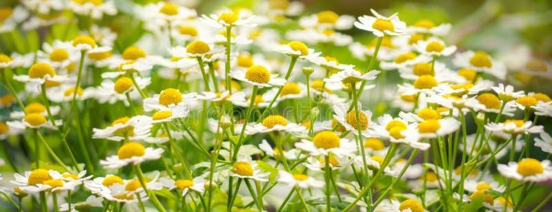 Mola do verão da luz solar da planta da margarida do campo da camomila das flores selvagens imagens de stock