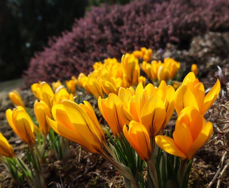 Mola em meu jardim Flores amarelas de florescência do açafrão no dia ensolarado imagens de stock