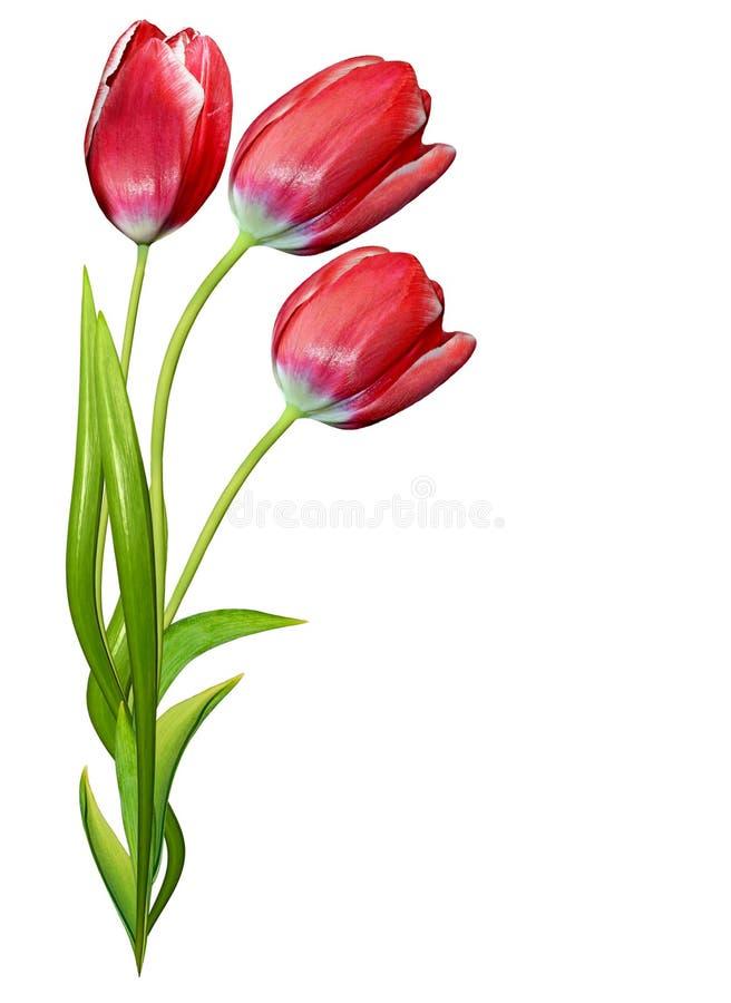 A mola floresce as tulipas isoladas no fundo branco fotografia de stock royalty free