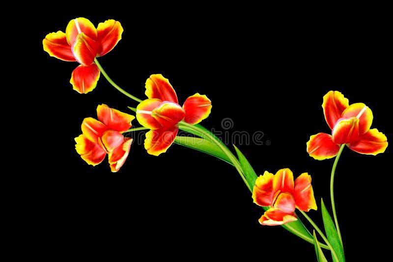 A mola floresce as tulipas isoladas no fundo preto fotografia de stock