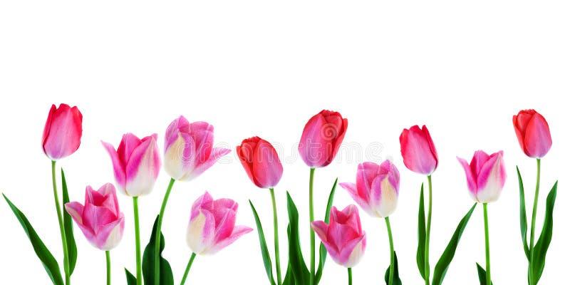 A mola floresce a beira - tulipas cor-de-rosa da bandeira na fileira no fundo branco com espaço da cópia imagem de stock