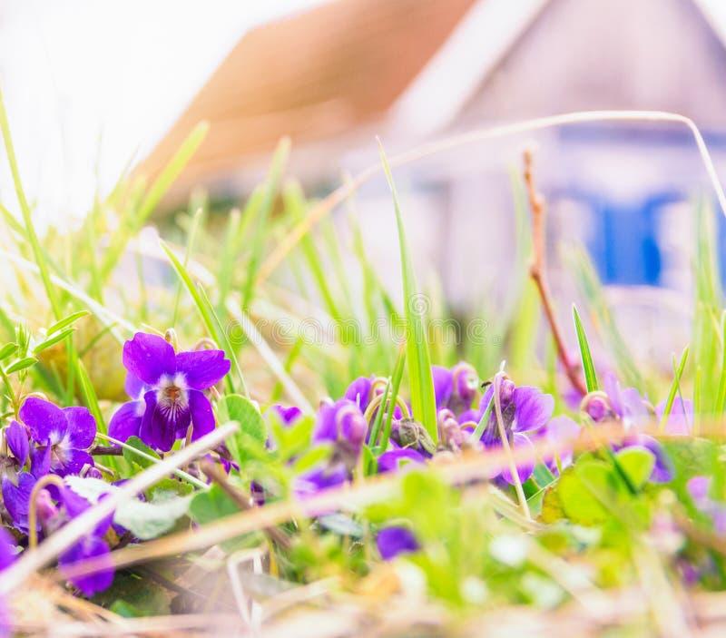 A mola floresce violetas na grama e na casa rústica fotos de stock royalty free