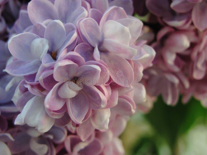 Mola lilás de maio imagem de stock