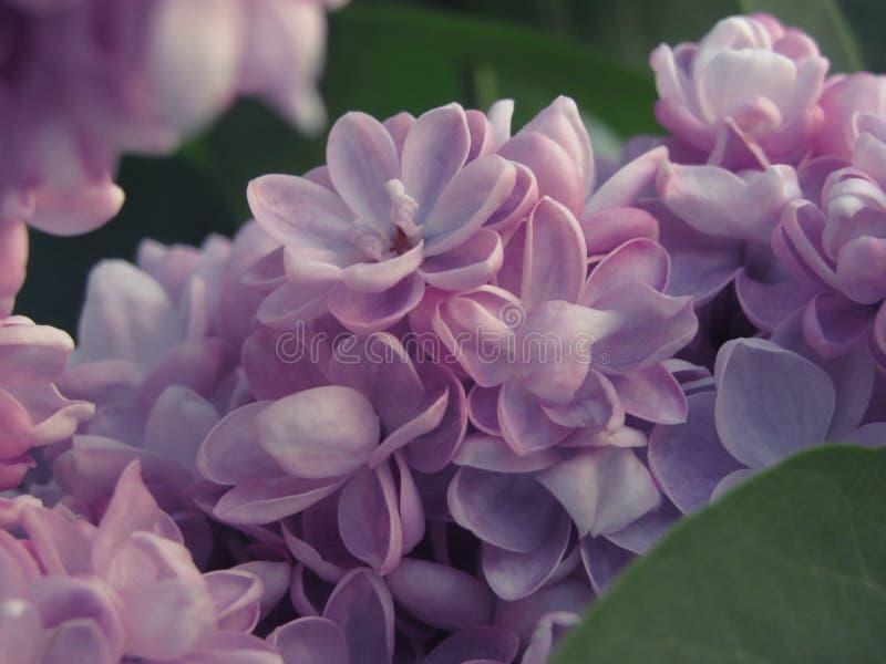 Mola lilás de maio imagens de stock royalty free