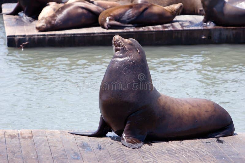 mola lwa morza zdjęcia royalty free