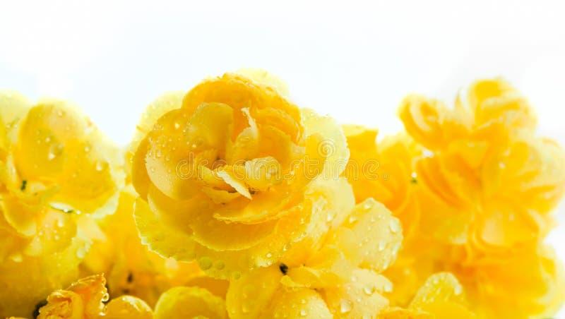 A mola macia amarela floresce o ramalhete no fundo branco imagem de stock royalty free