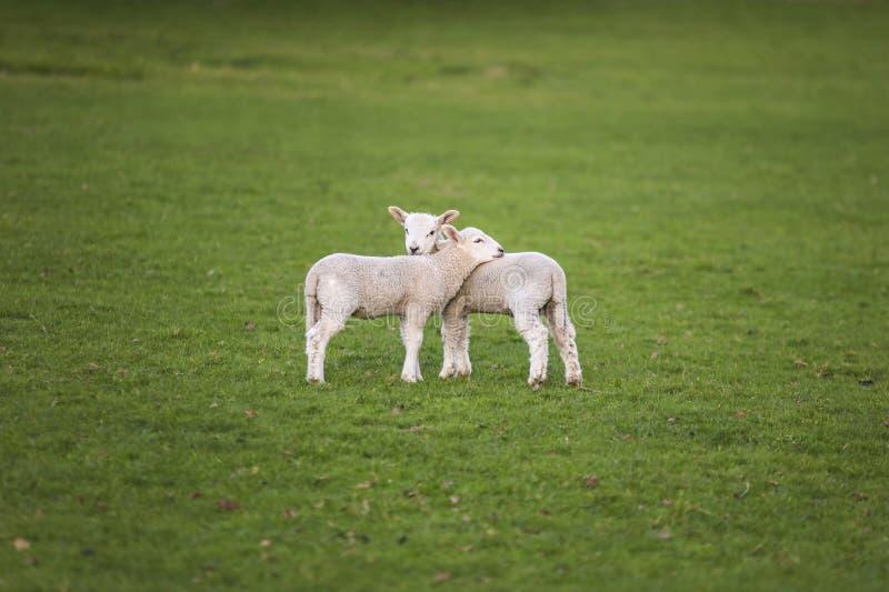 A mola paire carneiros do bebê em um campo foto de stock