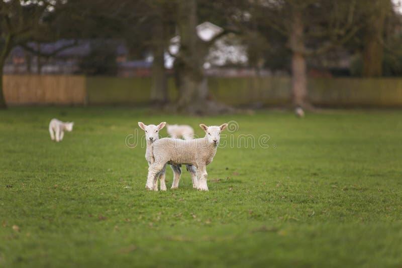 A mola paire carneiros do bebê em um campo fotografia de stock