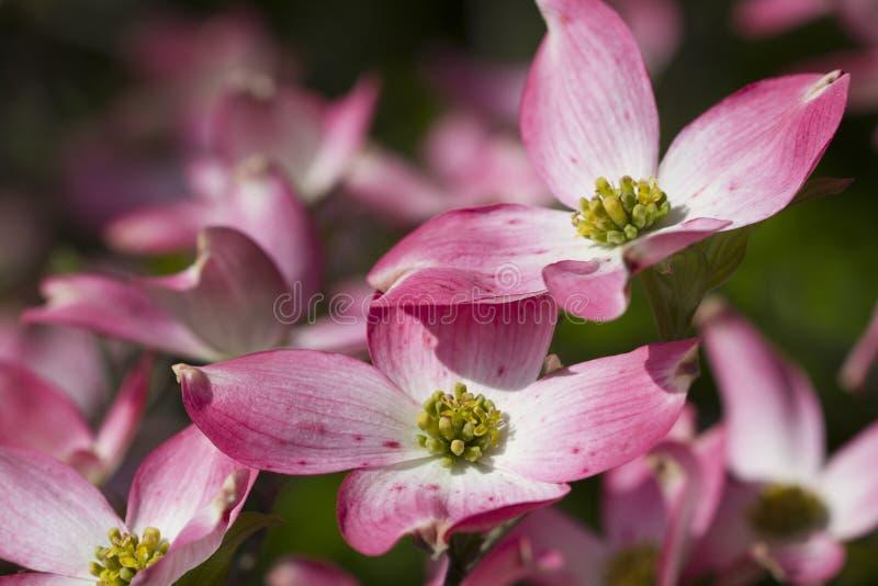 Mola que floresce flores cor-de-rosa do Dogwood imagem de stock