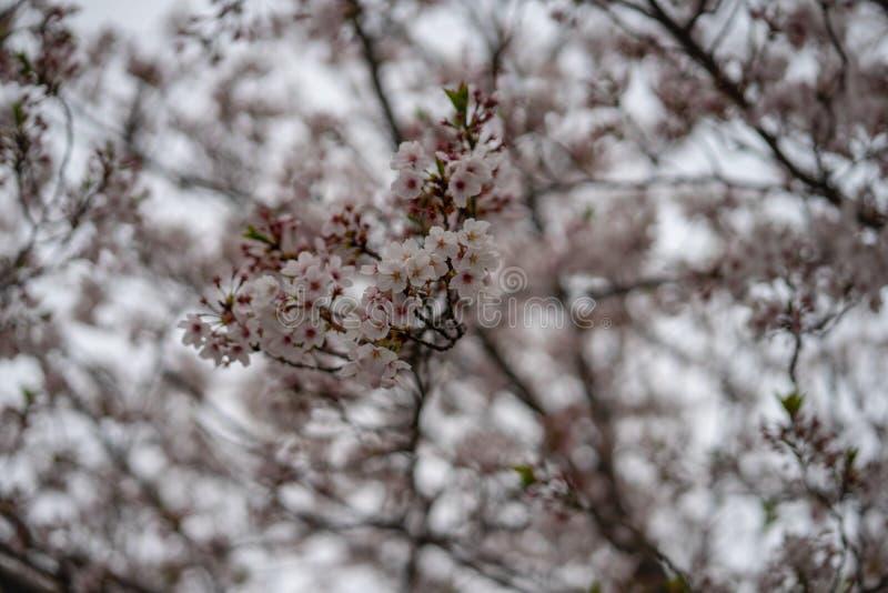 Mola Sakura Cherry Blossom na flor completa imagens de stock