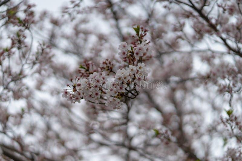 Mola Sakura Cherry Blossom na flor completa foto de stock