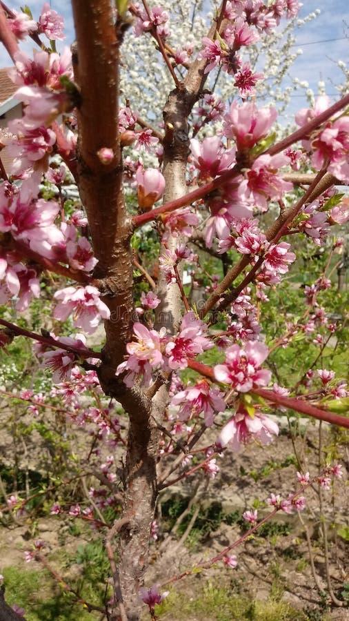 A molasazonal de floresce o fundo das árvores abril, cereja foto de stock royalty free