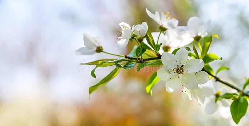 A mola sazonal floresce o fundo das árvores imagem de stock