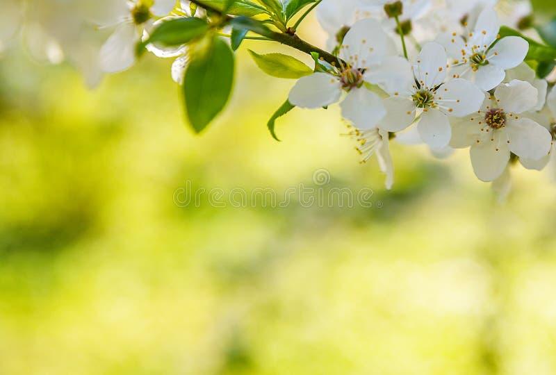 A mola sazonal floresce o fundo das árvores fotografia de stock royalty free