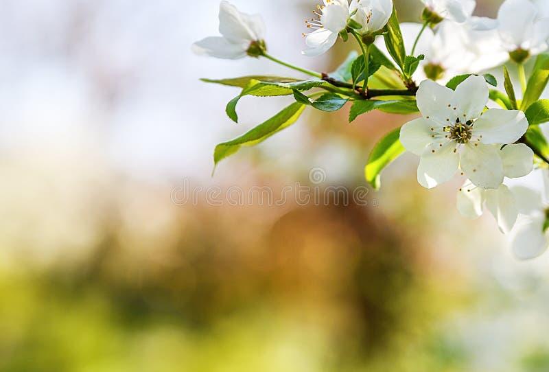 A mola sazonal floresce o fundo das árvores imagens de stock