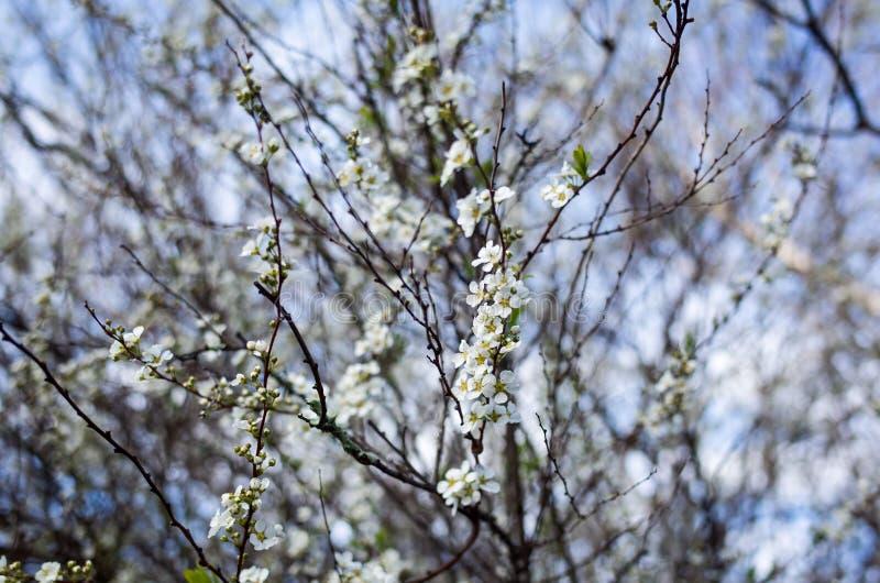 A mola sazonal floresce o fundo das árvores abril imagem de stock royalty free