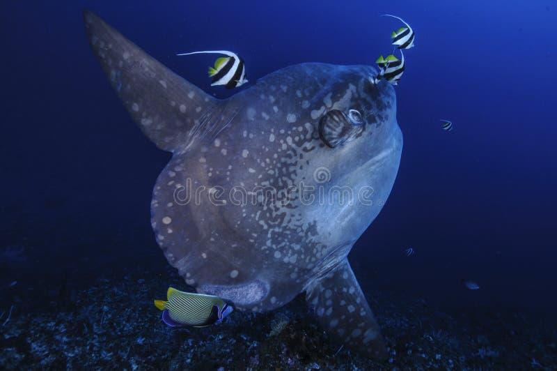 Mola Mola Sunfish που παίρνει καθαρισμένο από τα ψάρια εμβλημάτων στο Μπαλί στοκ φωτογραφία με δικαίωμα ελεύθερης χρήσης