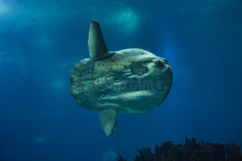 Mola Mola sunfish океана стоковое фото