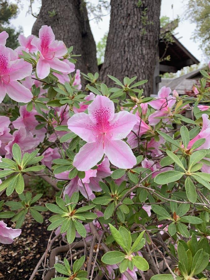 A mola tinha saltado em flores cor-de-rosa fotos de stock royalty free