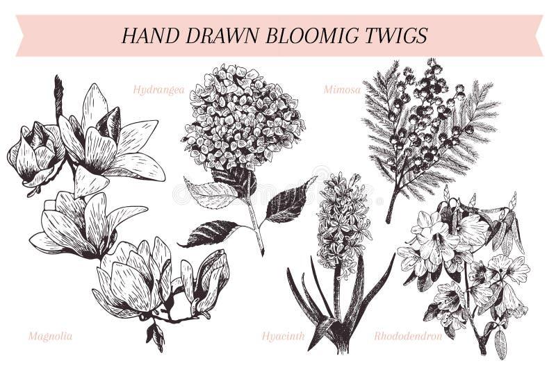 A mola tirada mão do vetor floresce cartaz Arte botânica gravada Ilustração do vintage Mimosa, jacinto, magnólia, rododendro, ilustração do vetor