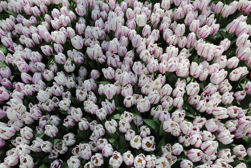 Mola Tulip Flowers Background - campo de Tulip Flovers em um festival de mola fotografia de stock