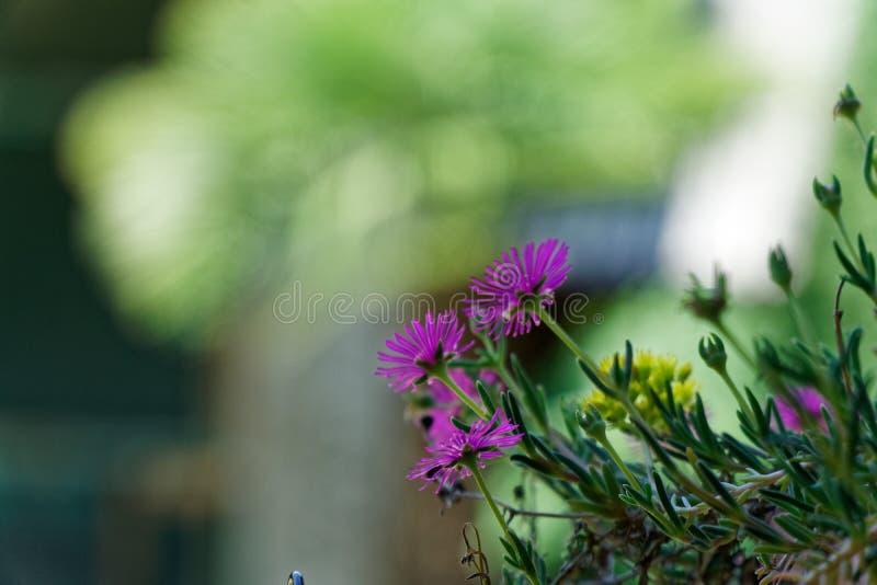 A mola ultravioleta floresce no dia ensolarado, modelo do cartão fotos de stock royalty free