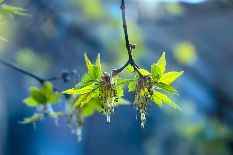 A mola verde brota a árvore de cinza foto de stock royalty free