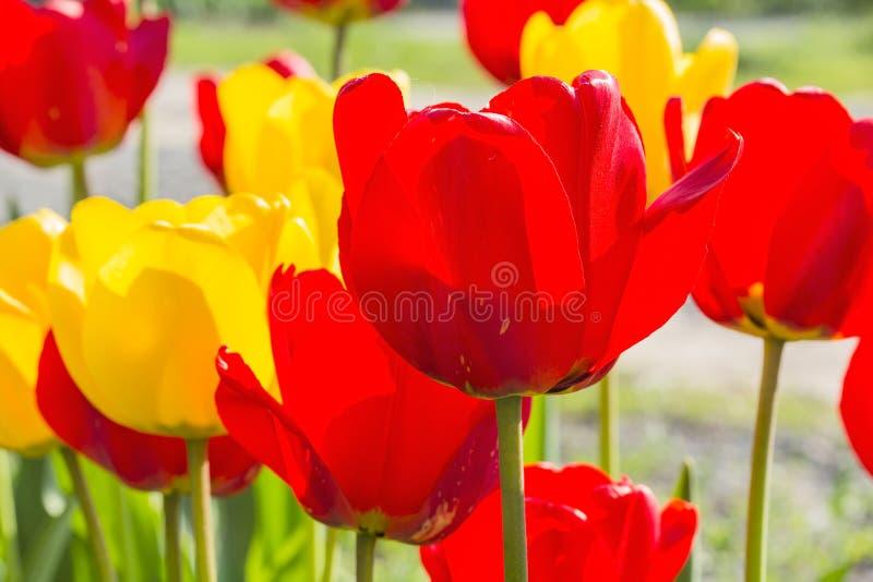 Mola vermelha e tulipas amarelas backlit, close-up fotografia de stock