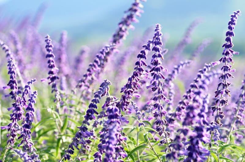 A mola violeta do campo do papel de parede do fundo floresce a paisagem rural fotos de stock royalty free