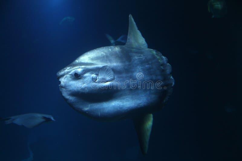 Mola Mola-vissen stock afbeeldingen