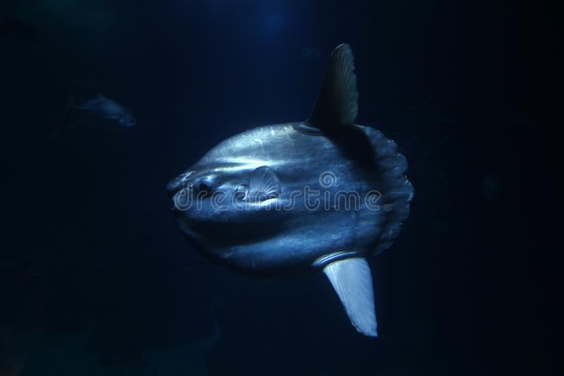Mola Mola-vissen royalty-vrije stock foto