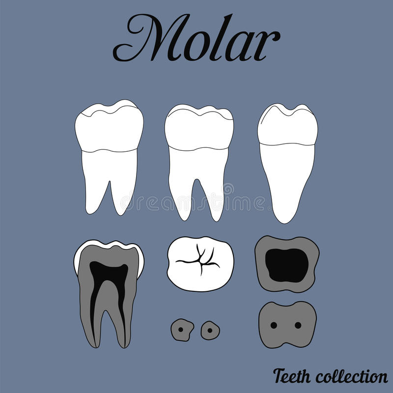 Molar. Human tooth - molar - tooth anatomy - dentine, enamel, pulp, root, vector for design or printing stock illustration