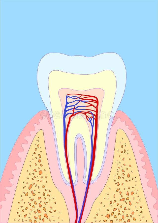 Molar tooth royalty free illustration