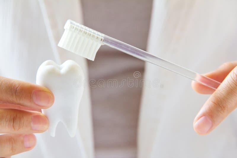 Molare della tenuta del dentista con la spazzola fotografie stock