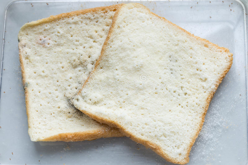 Mold bread Experiment. Science laboratory samples royalty free stock image