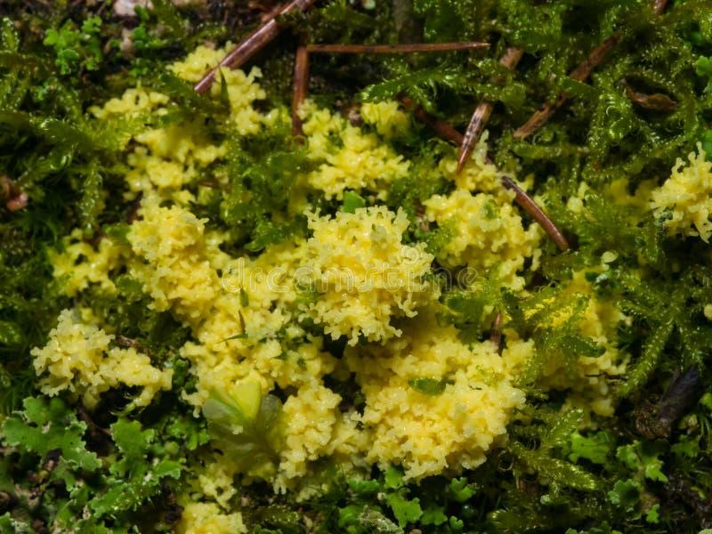 Molde de limo amarillo en el primer del musgo, foco selectivo, DOF bajo imágenes de archivo libres de regalías