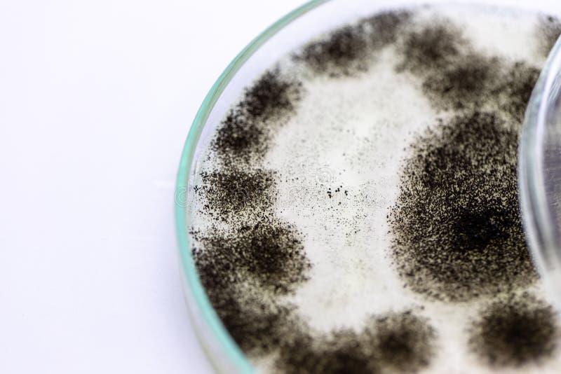 Molde del aspergillus para la microbiología en laboratorio fotografía de archivo