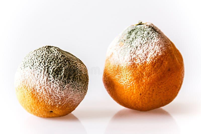 Moldy апельсины стоковое изображение rf