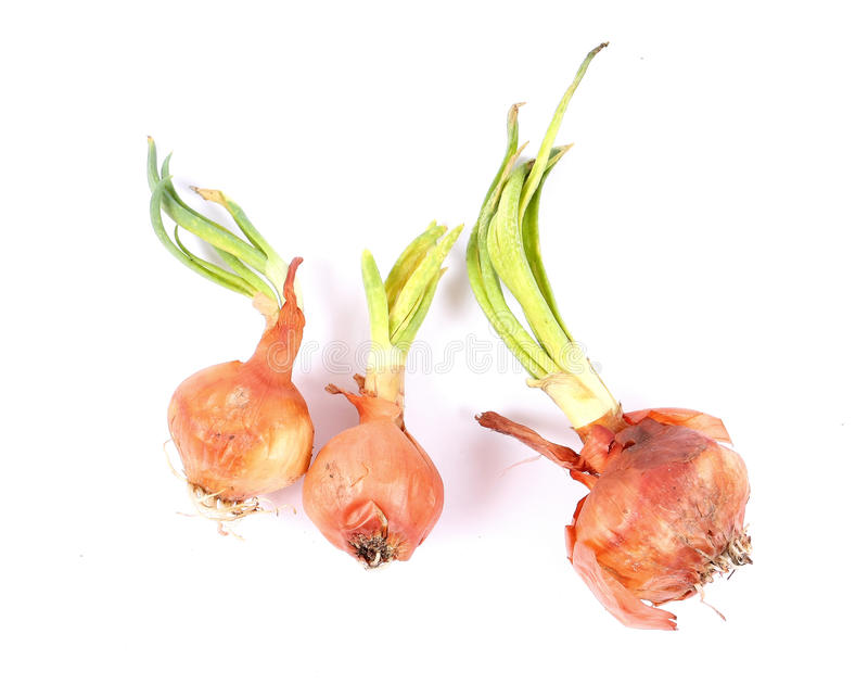 Moldy sprouting onions royalty free stock image
