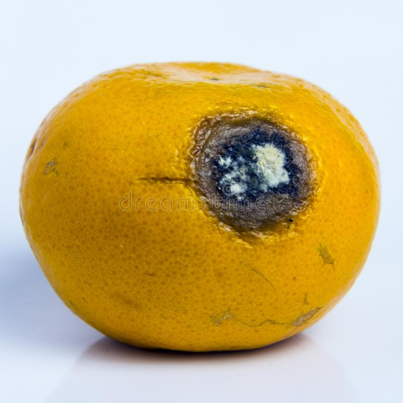 Spoiled rotten fruit Citrus tangerine lies on a white background. Moldy wound on ripe orange mandarin. Square frame. Close-up. royalty free stock photo