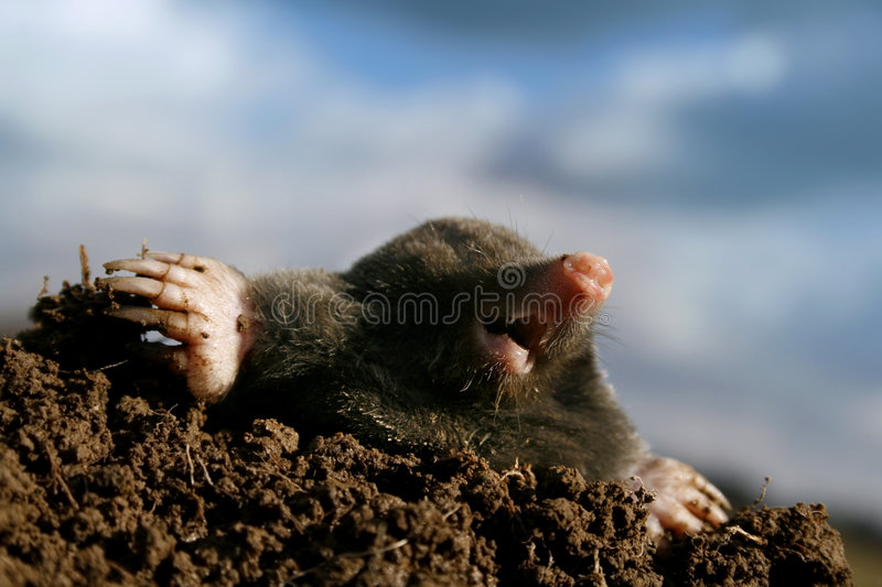 Mole stockfotos