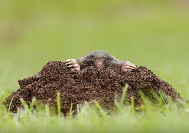 Download Mole stock image. Image of mole, close, natural, furry - 33532003