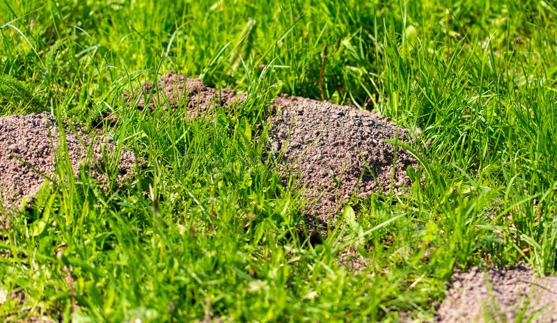 Mole dug in the ground in spring royalty free stock image