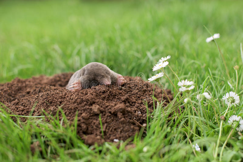 Download Mole In The Garden Stock Photo. Image Of Insectivore   92403060