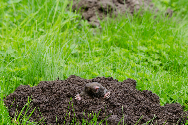 Mole head. Mole put out his head from molehill hole. Enemy for beautiful lawn stock photo