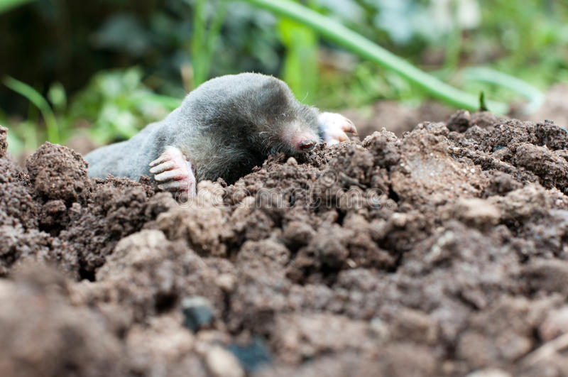 Download Mole in a soil stock photo. Image of rodent, snout, field - 25398564