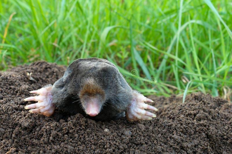Mole und Maulwurfshügel auf Garten stockfotografie