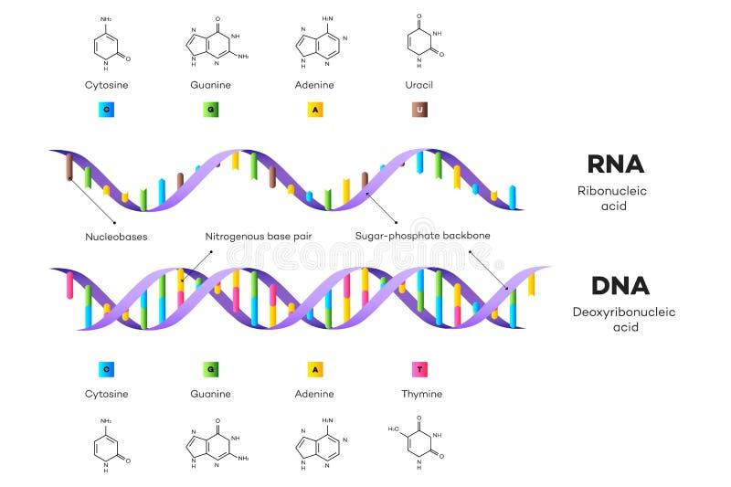 Moleculaire Structuur van DNA en RNA Infographic Onderwijs Vectorillustratie royalty-vrije illustratie